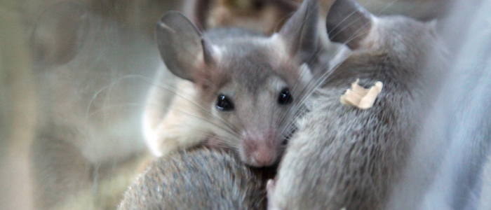 Elimine os ratos.