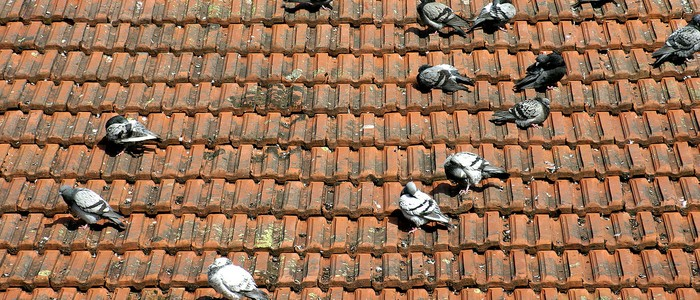 Evite doenças transmitida pelo pombos